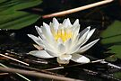 Water Lily in the Wild by John Carpenter