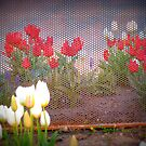 Tulips Behind The Fence by Linda Miller Gesualdo