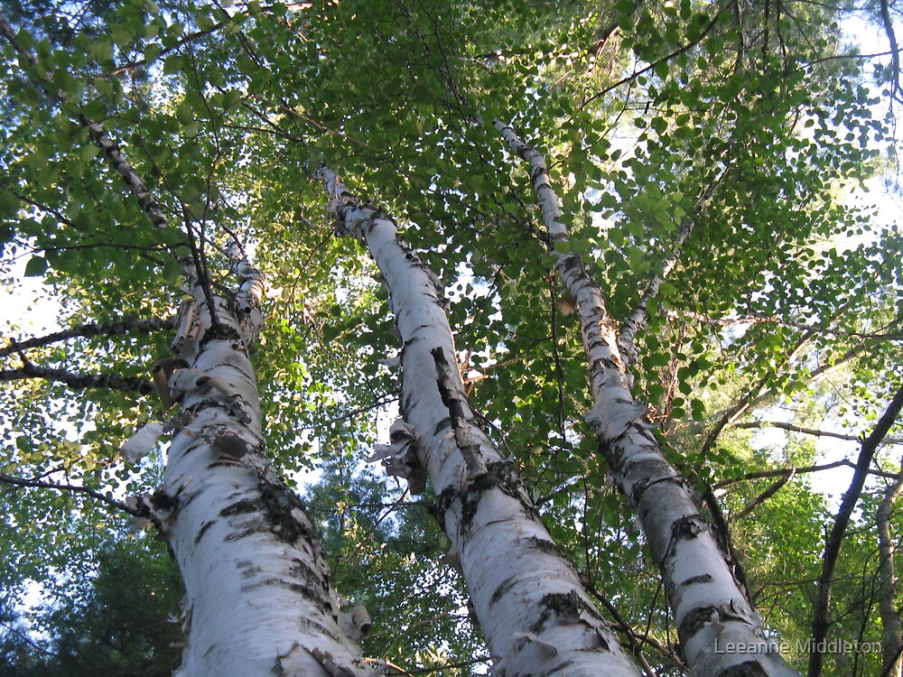 three birch trees by Leeanne Middleton