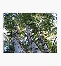 three birch trees Photographic Print