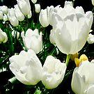 Sonnenbeschiene weiße Tulpen von Shulie1