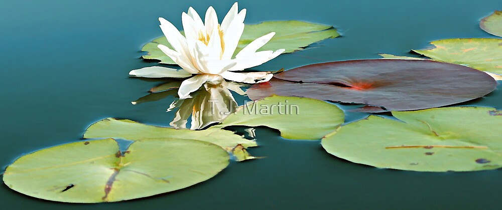 White Pond Lily - Otter Pond by T.J. Martin