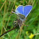 Little Blue Butterfly by ienemien