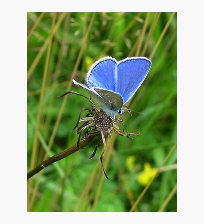 Little Blue Butterfly Photographic Print