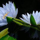 Water Lilies 10 by John Caddell