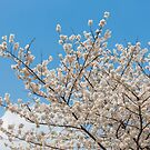 Cherry blossom in Korea by kawing921