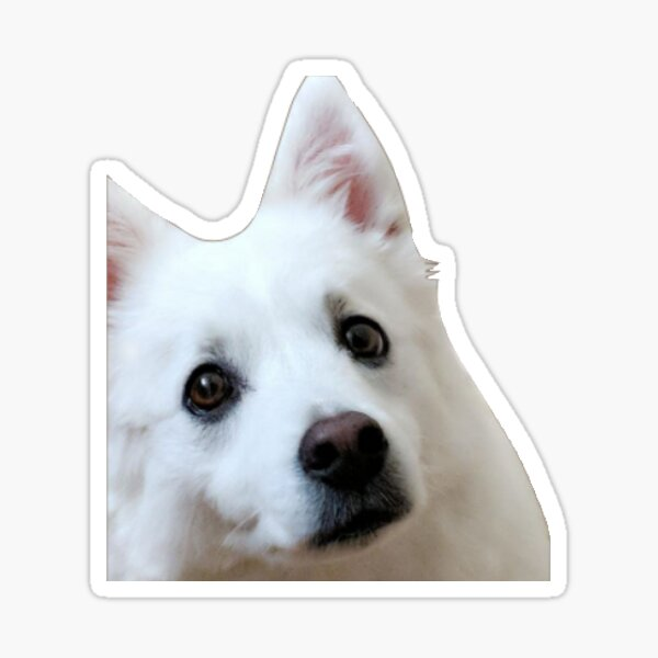American eskimo dog Sticker