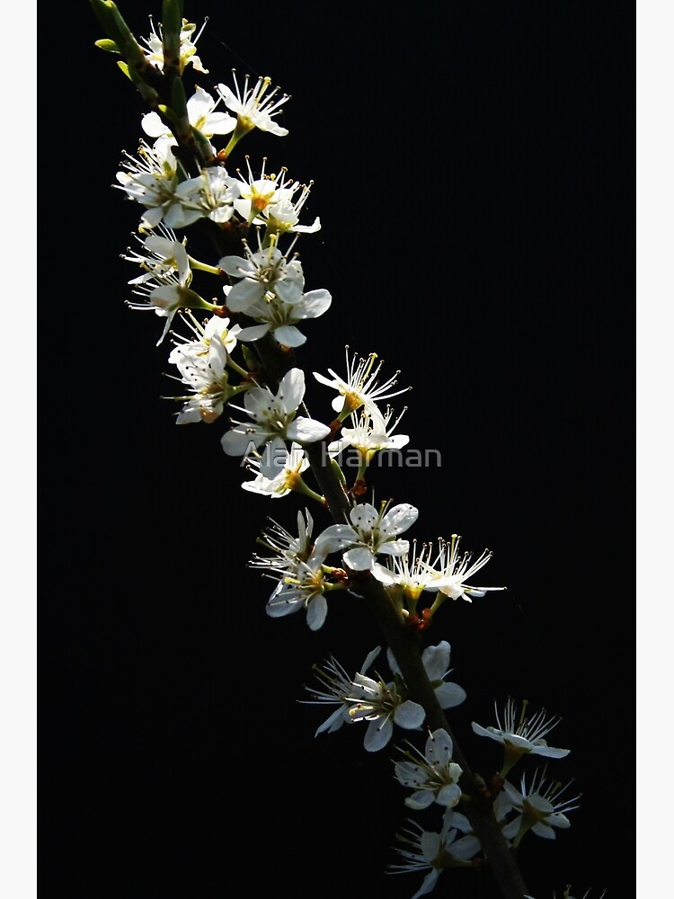 Hawthorn Flowers by AlanHarman