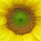 sunflower by Leeanne Middleton