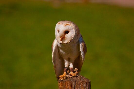 Barn Owl - Omega Parc, Quebec by Josef Pittner
