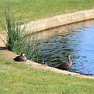 Ducks by KAHLIA