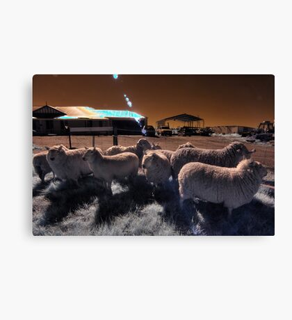 'Roundup' mustering the sheep Canvas Print