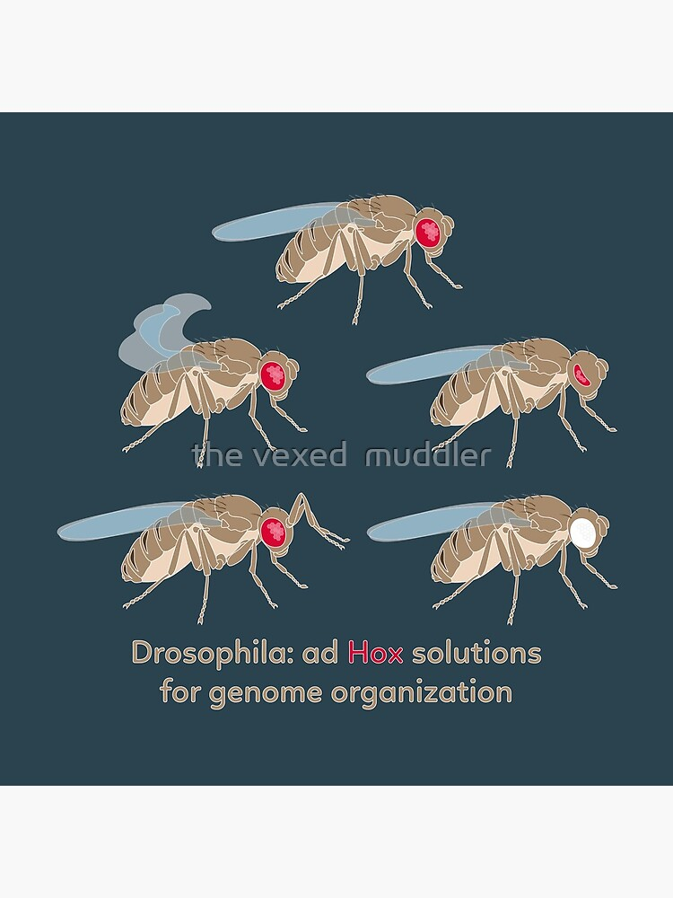Drosophila Mutations: Ad Hox Solutions for Genome Organization by thevexedmuddler