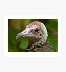 Hooded Vulture Art Print
