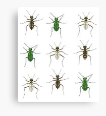 Tiger beetle trio Canvas Print