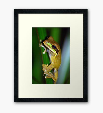 Masked Treefrog (Smilisca phaeota) - Costa Rica Framed Print