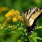 Butterfly by Richard Skoropat