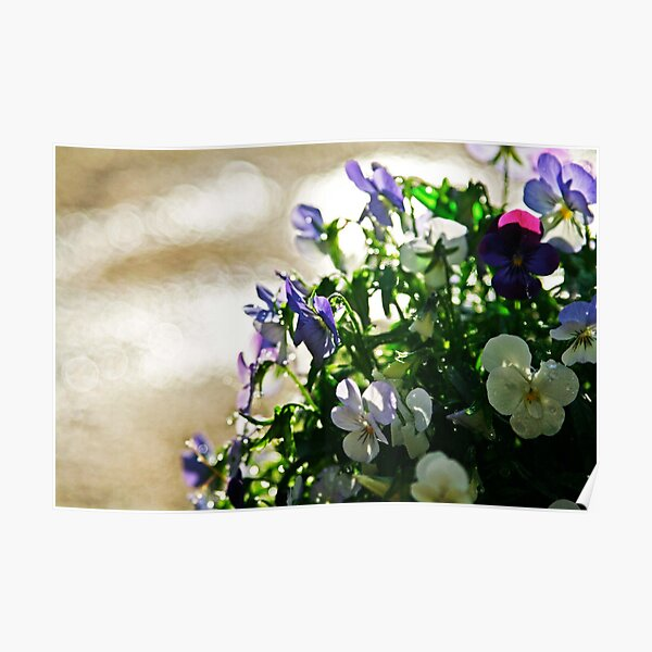 Pansies After the Rain photo by CheyAnne Sexton Poster