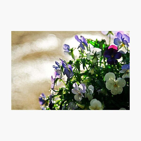 Pansies After the Rain photo by CheyAnne Sexton Photographic Print