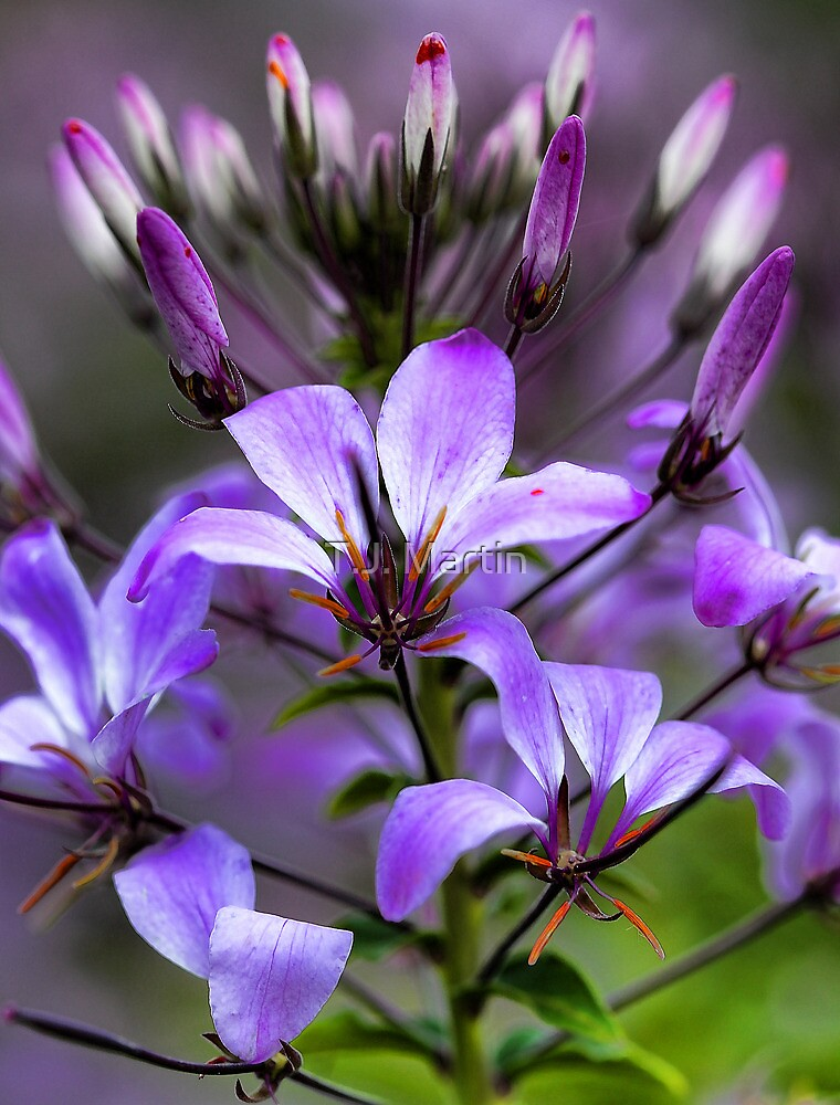 Cleome - Purple Queen by T.J. Martin