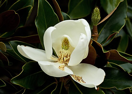 August Magnolia by Widcat