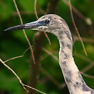 Immature little blue heron-blue and white phase by Anthony Goldman