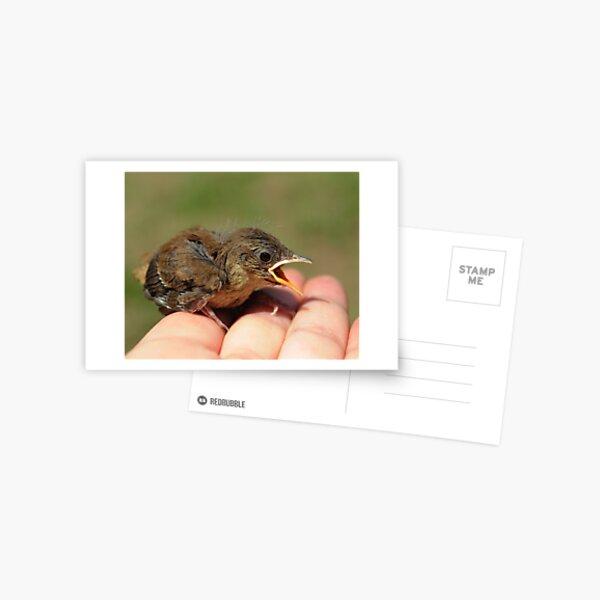 Baby Wren Postcard