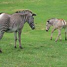 zebras by xxnatbxx