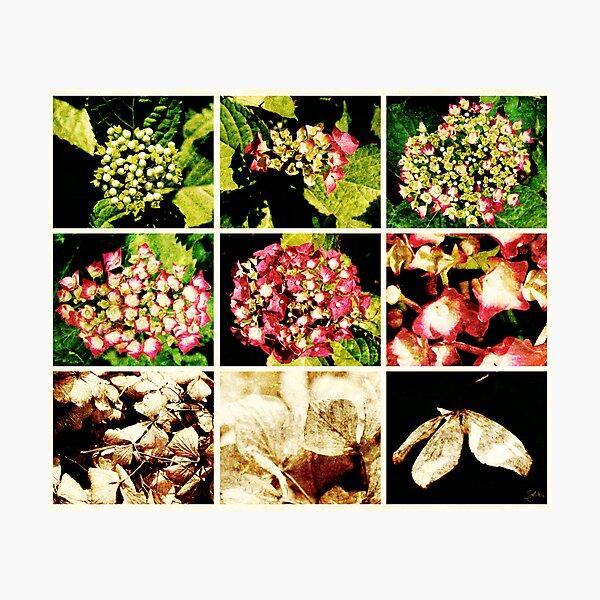 Seasons of a Hydrangea Photographic Print