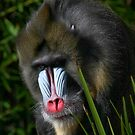 Mandrill Stare by Peter Pevy