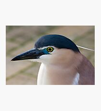 Nankeen Night Heron Photographic Print