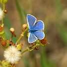 Male Common Blue (Polyommatis icarus) by saxonfenken