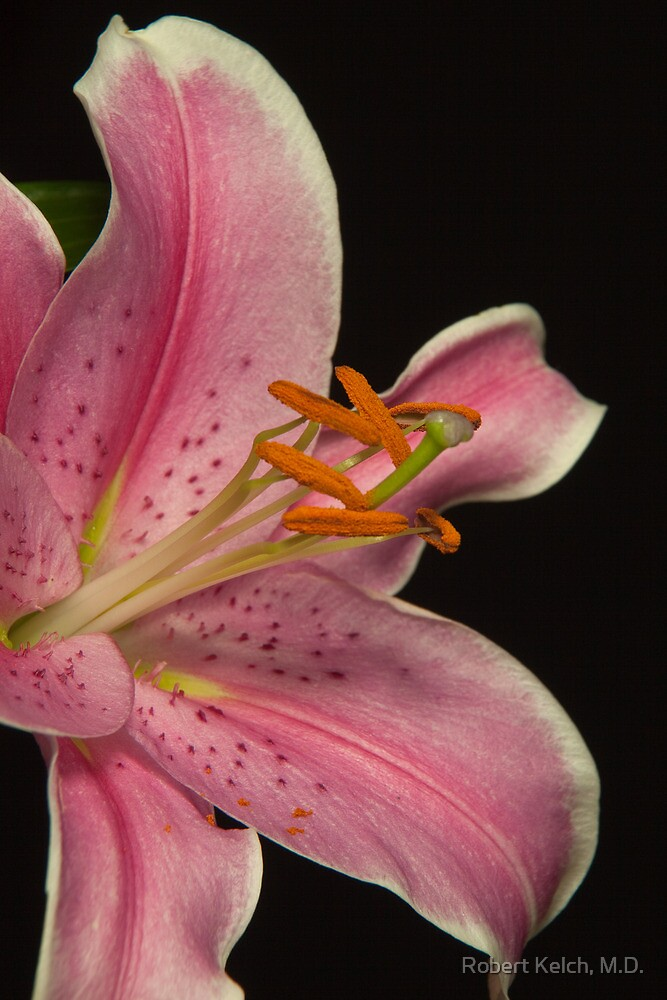Pink lilly - very close up by Robert Kelch, M.D.