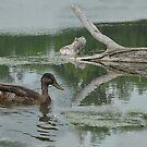 Quack by dumbomsa