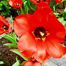 Rote Tulpe von Shulie1