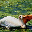 Pelican Feeding by Larry Trupp