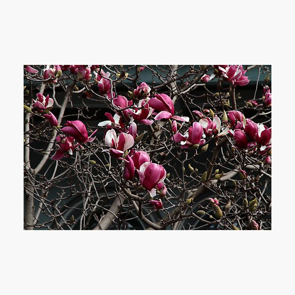 Magnolia II Photographic Print