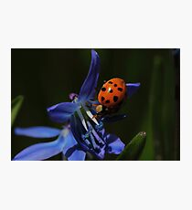 Lady Beetle on Siberian Squill   Photographic Print