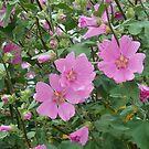 Zarte rosa Hibiskusblüten von BlueMoonRose