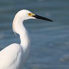 Snowy egret by Anthony Goldman