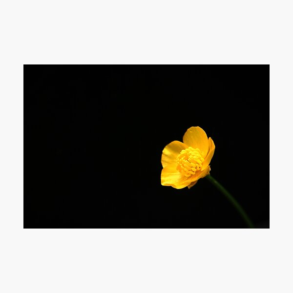 Buttercup Flower Photographic Print
