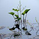 Lilies by AlbertStewart