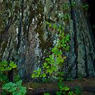 Moss and Poison Oak on Redwood by Josef Grosch
