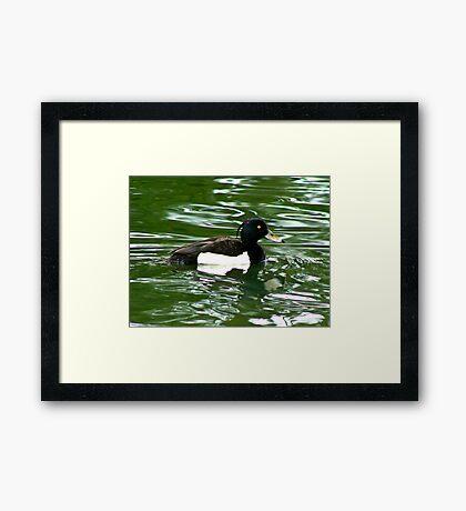 Tufted Duck (Aythya Fuligula) Framed Print