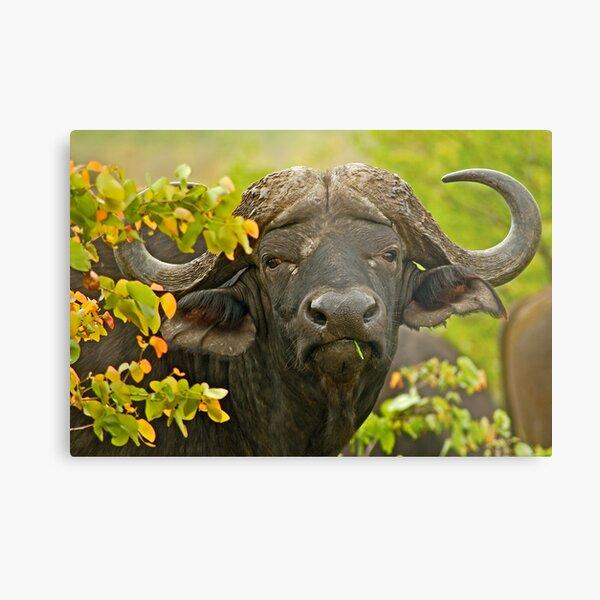African Buffalo (Syncerus caffer) Metal Print