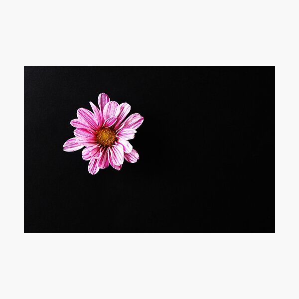 Chrysanthemum Flower Photographic Print