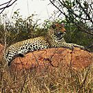 Leopard reclining in Kruger National Park, Sth Africa by Bev Pascoe