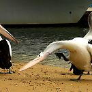 the itch. pelicans. san remo phillip island by tim buckley | bodhiimages