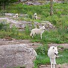 Arctic wolves by Daniel  Parent