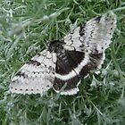 B&W Butterfly/Moth by MaeBelle